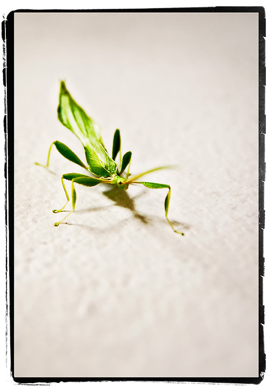 leafinsect02